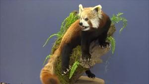 Der Rote Panda im Naturkunde Museum