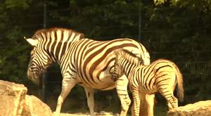 Neues Zebra im Erfurter Zoo