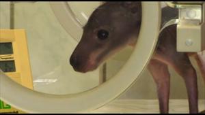 Das Känguru-Baby Tyson