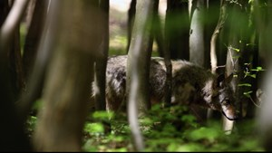 Ohrdruf: Wolfsspuren werden im Labor untersucht