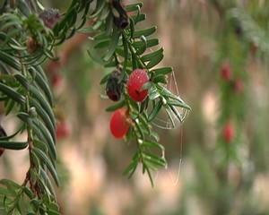 Giftige Beeren
